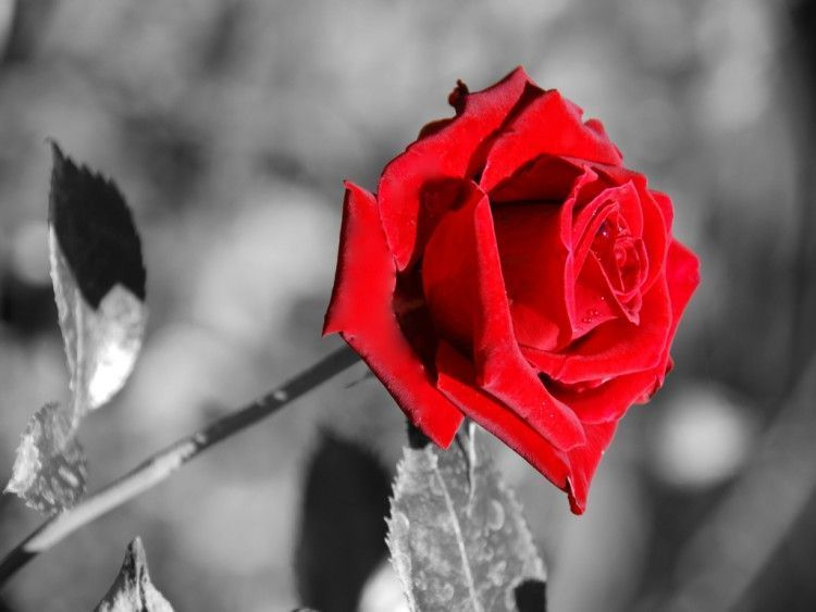 Roses rouge - Signification des roses rouges ...