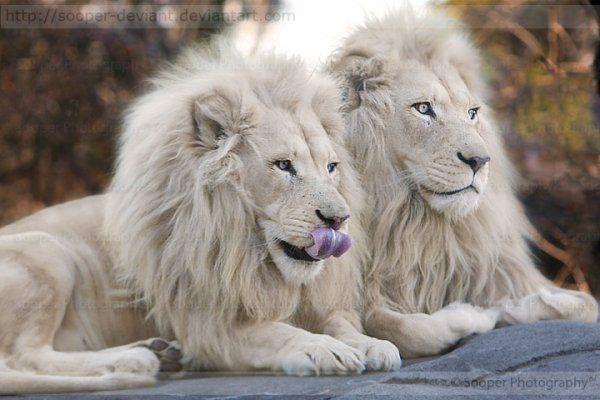 Lions blancs - Images de lions a imprimer ...