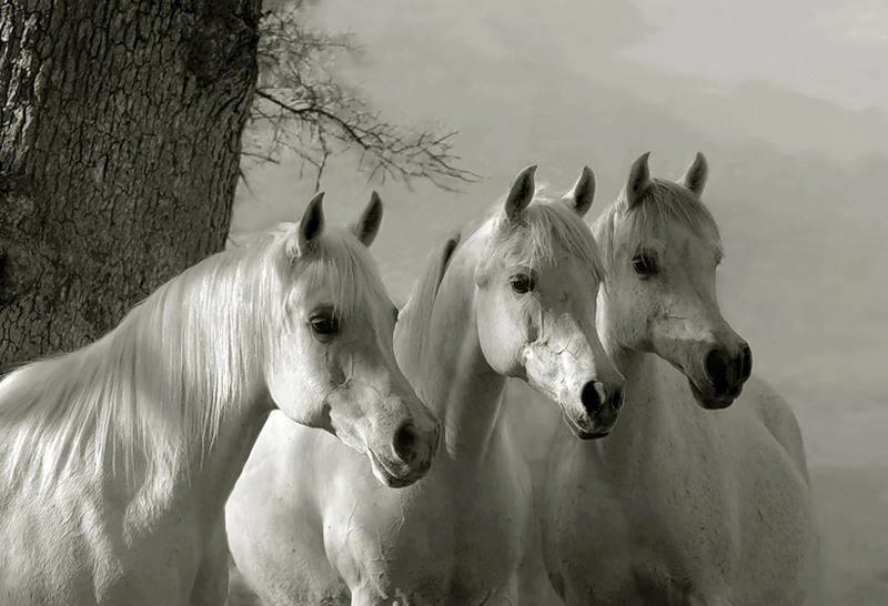 Résultat d'images pour Belles photos noir et blanc chevaux