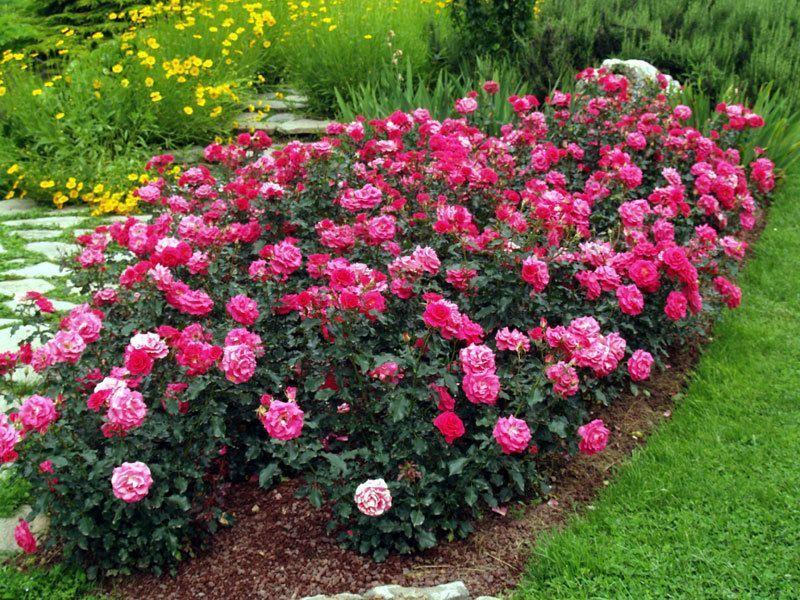 Au jardin astuces et r cup ration - Comment tailler un rosier buisson ...