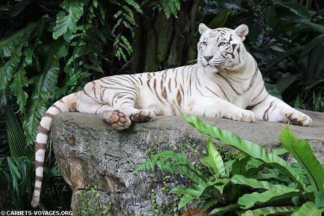 Lions tigres blancs photos et textes - Photo de tigre a imprimer ...